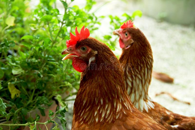 A galinha dois na exploração agrícola foto de stock