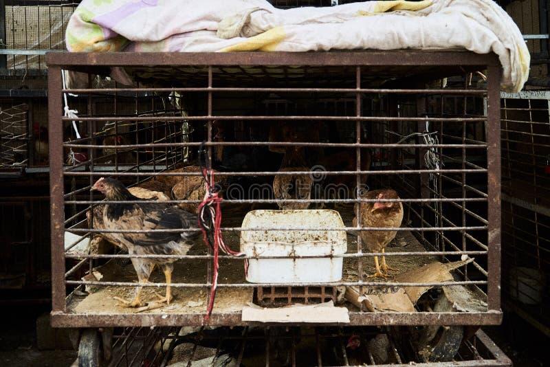 A galinha dos ovos nas gaiolas cultiva Galinha doente imagem de stock royalty free
