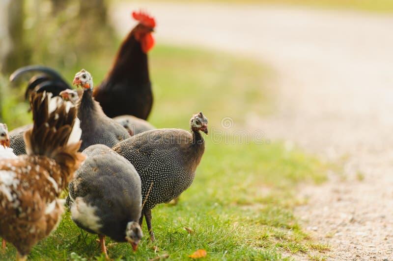 Galinha e galinha de Guiné foto de stock