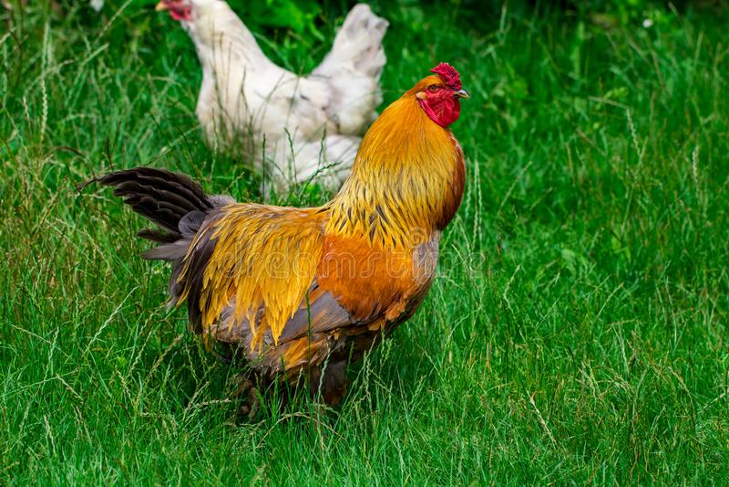 Galinha e grama verde - galinha ar livre - uma imagem de stock royalty free