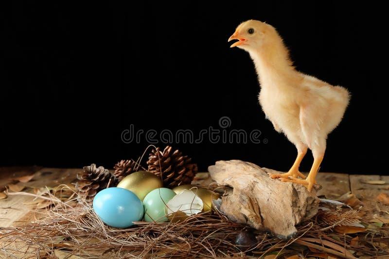 Galinha e ovos fotos de stock