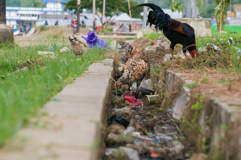 Galinha local que procura pelo alimento na área poluída pelo plástico e pela contaminação imagem de stock