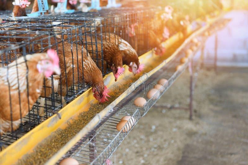 Galinha na agricultura da gaiola dentro na galinha fresca do ovo dos produtos agrícolas da galinha foto de stock