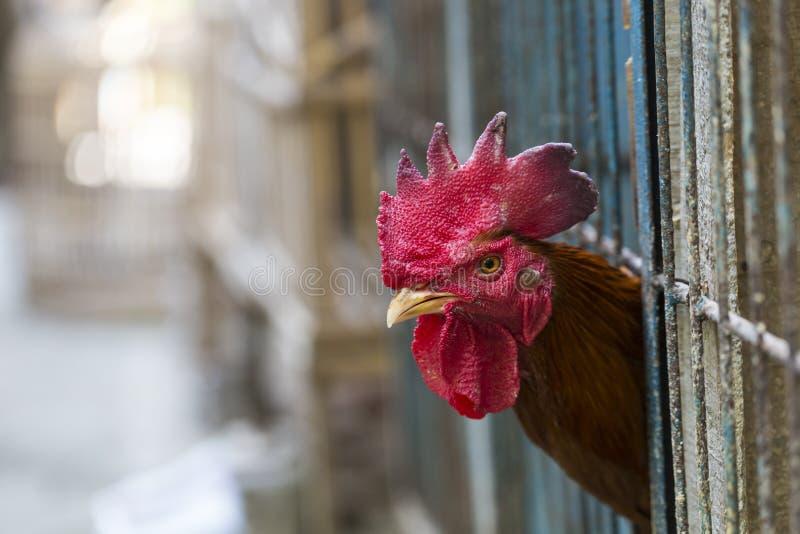 Galinha ou galinha irritada nas gaiolas para a venda no mercado Tortur foto de stock