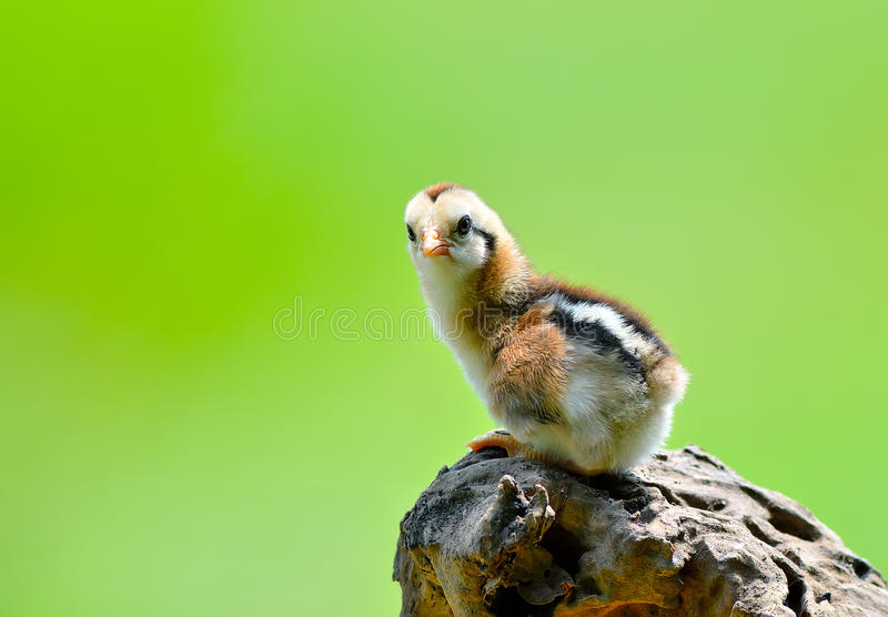 galinha pequena bonito foto de stock royalty free