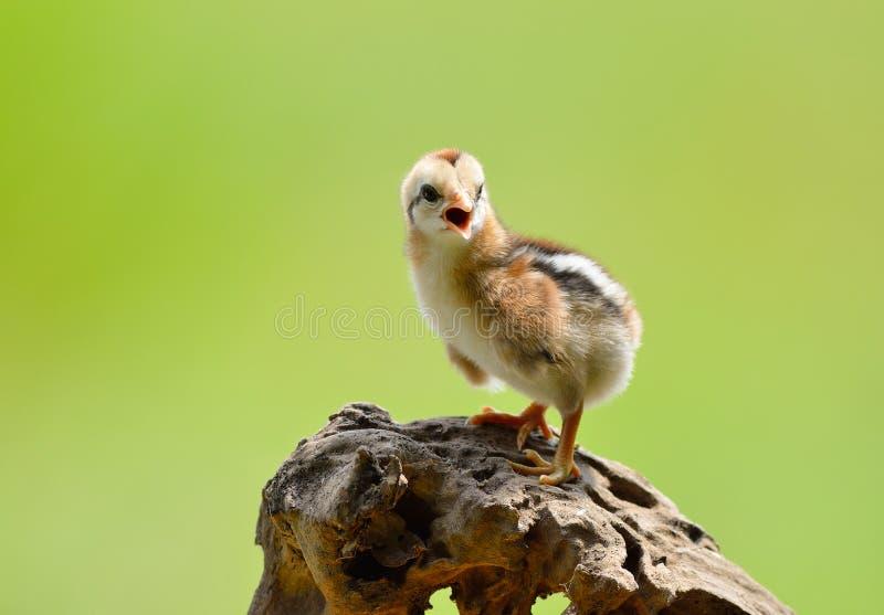 galinha pequena bonito fotografia de stock
