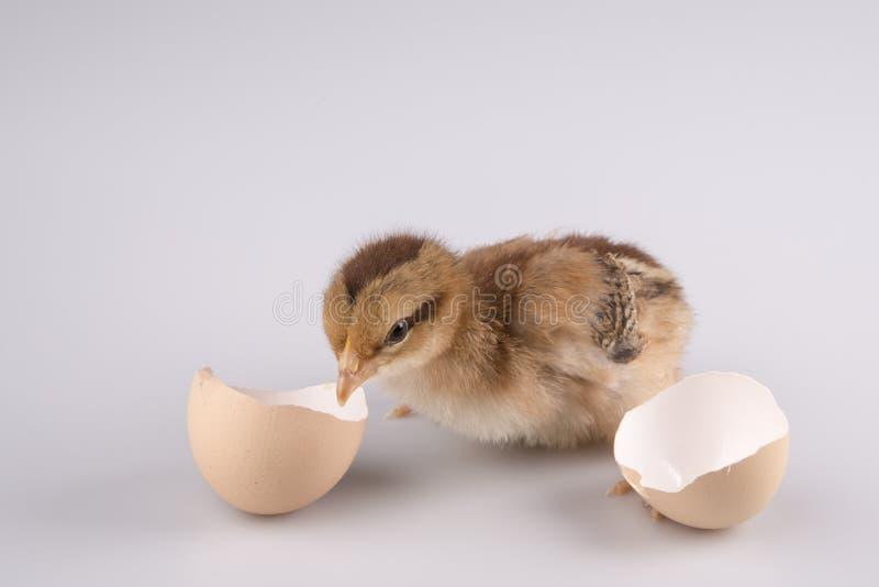 Galinha pequena bonito que sai de um ovo branco isolado no branco imagem de stock royalty free