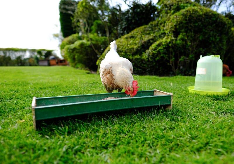 Galinha pequena doméstica alimentação vista fora de uma calha do alimento em um jardim foto de stock royalty free