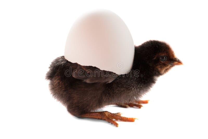 Galinha pequena preta com o ovo quebrado isolado no fundo branco imagens de stock