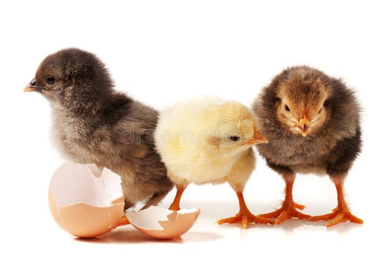 Galinha três pequena bonito com a casca de ovo isolada no fundo branco imagens de stock