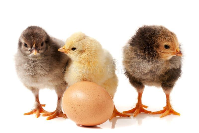 Galinha três pequena bonito com o ovo isolado no fundo branco fotografia de stock