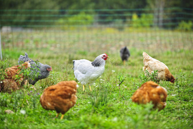 Galinhas ar livre na exploração agrícola fotografia de stock