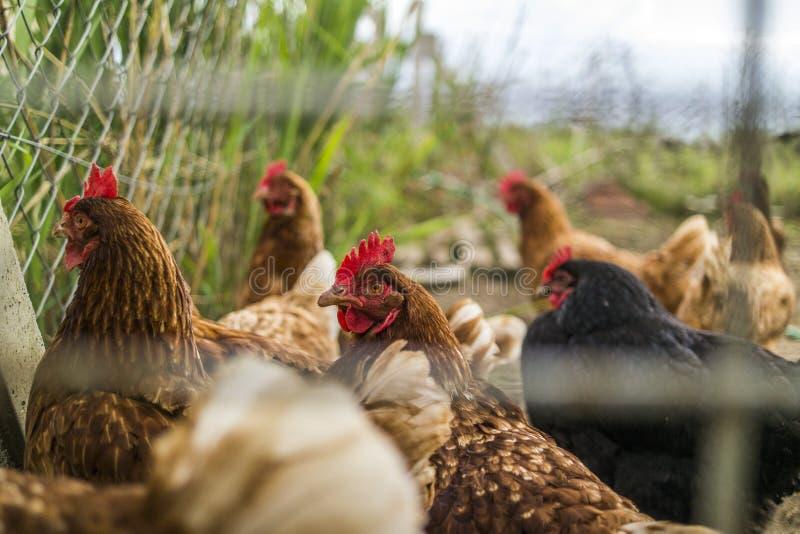 Galinhas atrás da cerca Standing All Together na vida da exploração agrícola imagens de stock royalty free