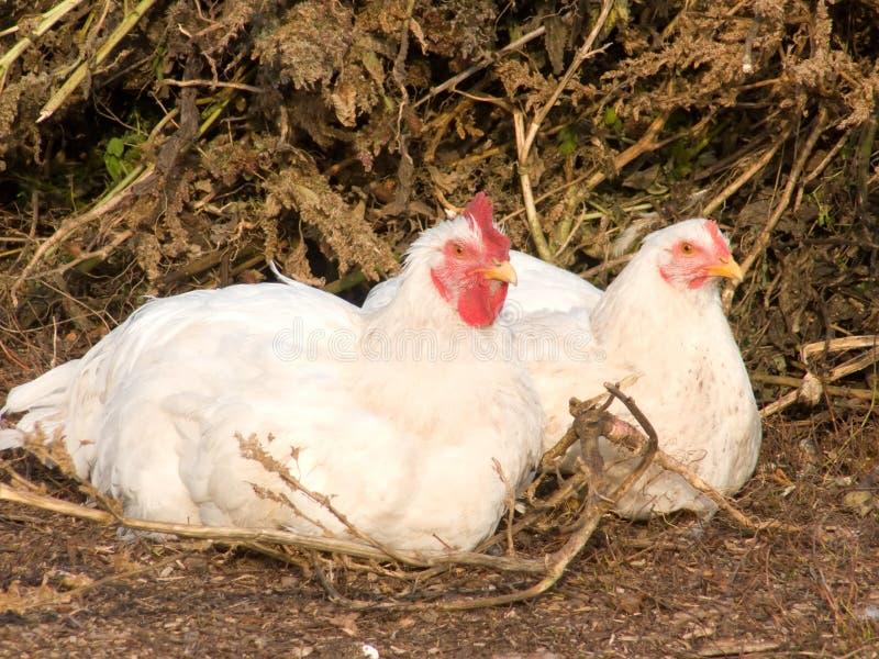 Galinhas da casa dos pássaros fotos de stock royalty free