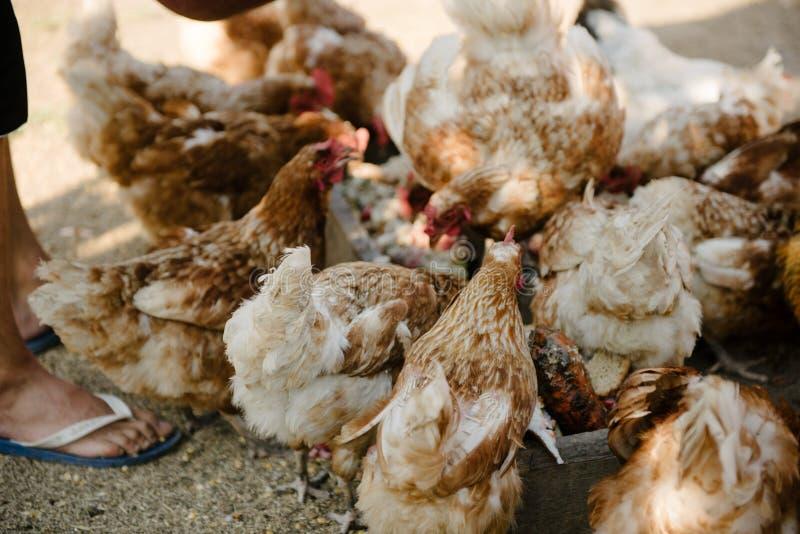 Galinhas de alimentação no terreiro Uma pessoa alimenta galinhas com grão foto de stock royalty free