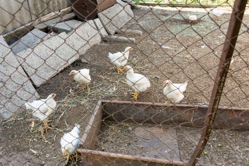 Galinhas de grelha em uma exploração avícola rural fotografia de stock