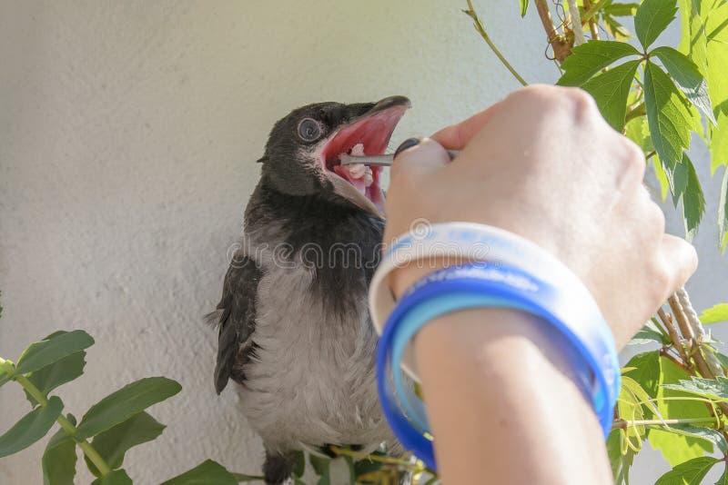 Galinhas do corvo no fundo de um balcão de florescência e de uvas, fundo da mola sentar-se com sua boca abre-me e alimentou lhe imagens de stock