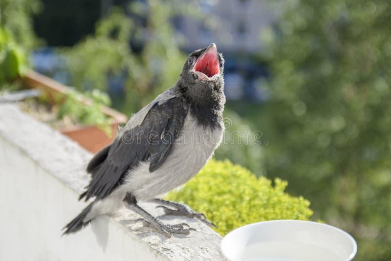 Galinhas do corvo no fundo de um balcão de florescência e de uvas, fundo da mola sentar-se com uma boca aberta e quer comer foto de stock royalty free
