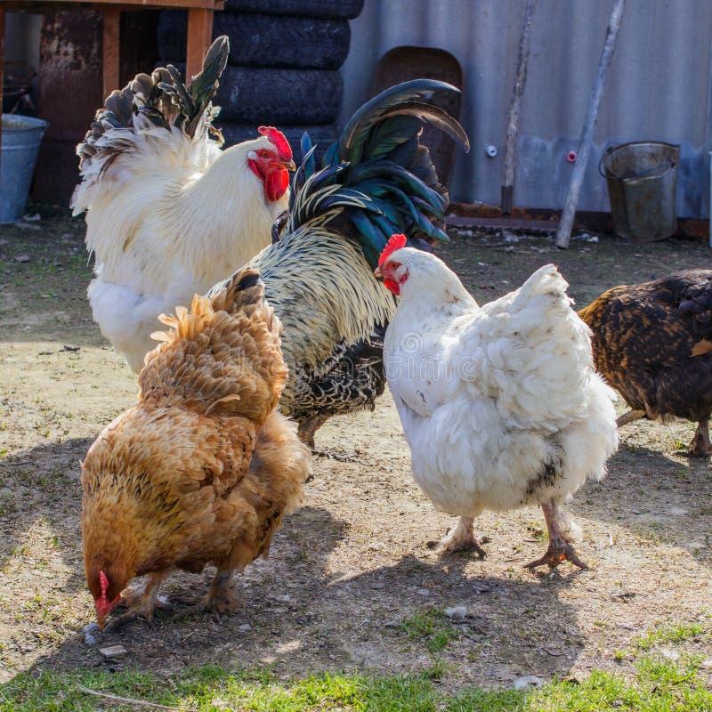 Galinhas e galos que andam em uma jarda rural em um dia ensolarado fotos de stock royalty free