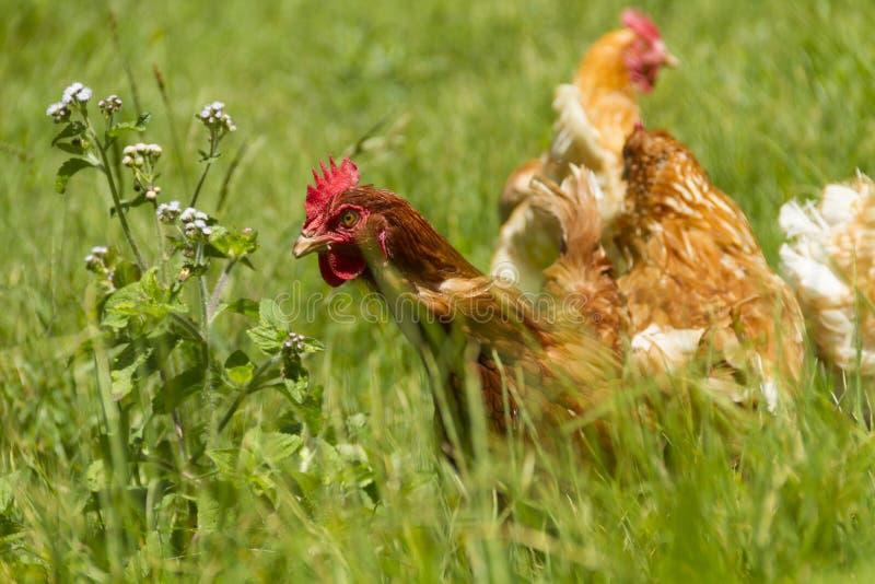 Galinhas livres que pastam o dia ensolarado orgânico de grama verde dos ovos fotografia de stock