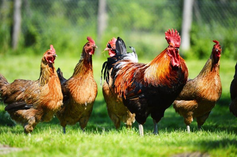 Galinhas na exploração avícola ar livre tradicional imagem de stock