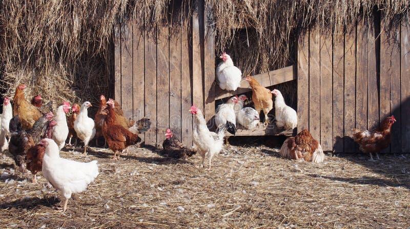 Galinhas na jarda das aves domésticas em uma exploração agrícola fotografia de stock