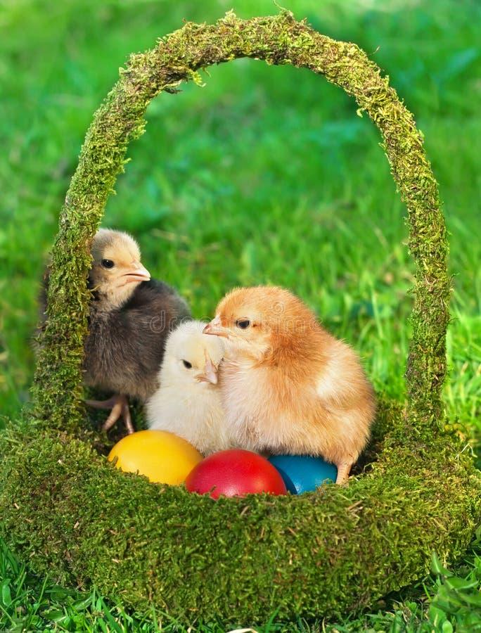 Galinhas pequenas na cesta com ovos fotografia de stock royalty free