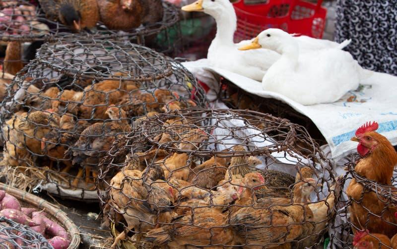 Galinhas prendidas da galinha que esperam para ser vendido para o alimento imagem de stock