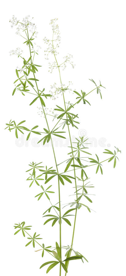 Galium mollugo stock photos