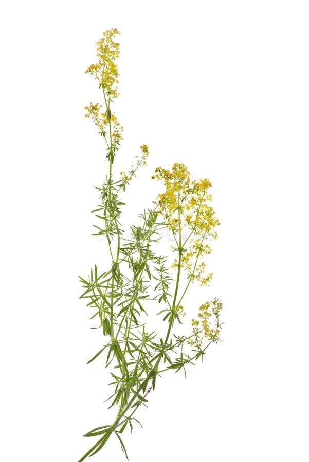 Free Galium Verum Stock Image - 17764411