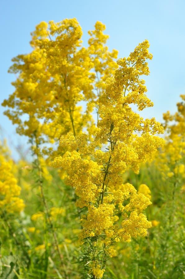 Free Galium Verum Flower On Meadow Royalty Free Stock Photos - 43821128
