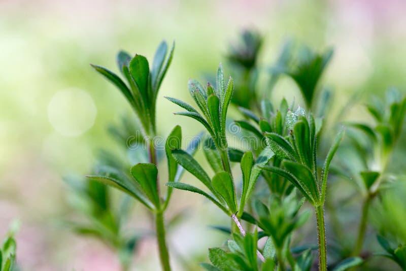 Galiumaparineköttyxor, clivers, goosegrass, catchweed, stickyweed, rödhake-körning--häcken, klibbiga willy, den klibbiga pilen, s royaltyfri bild