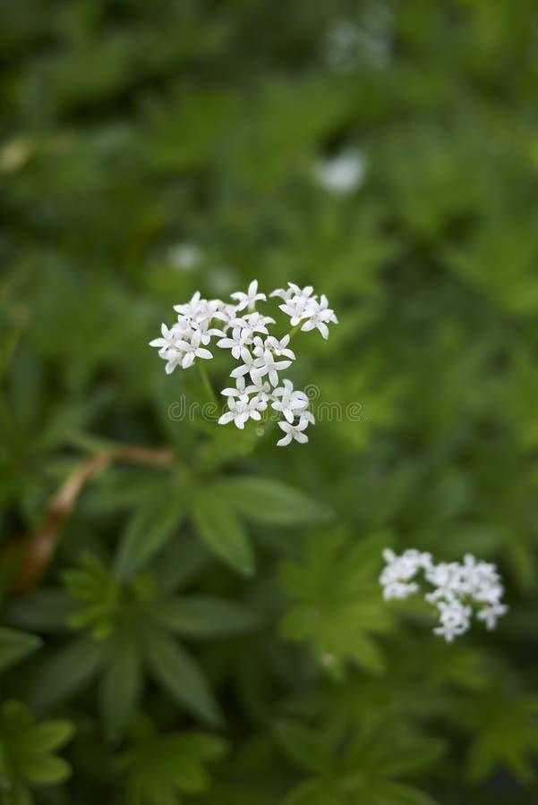 Galiumodoratum med vita blommor arkivfoto