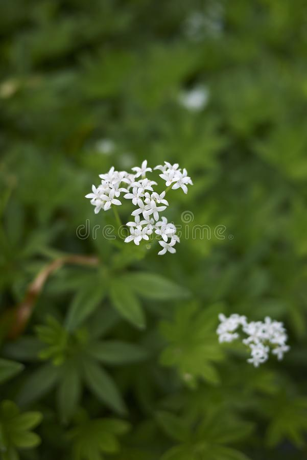 Galiumodoratum met witte bloemen stock foto