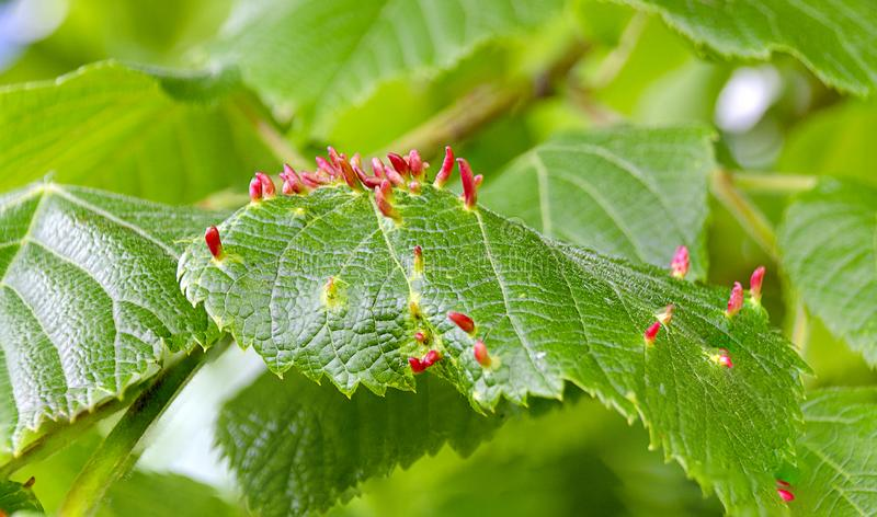 Gall midges galls. Red galls of gall midges on green leaves stock photo