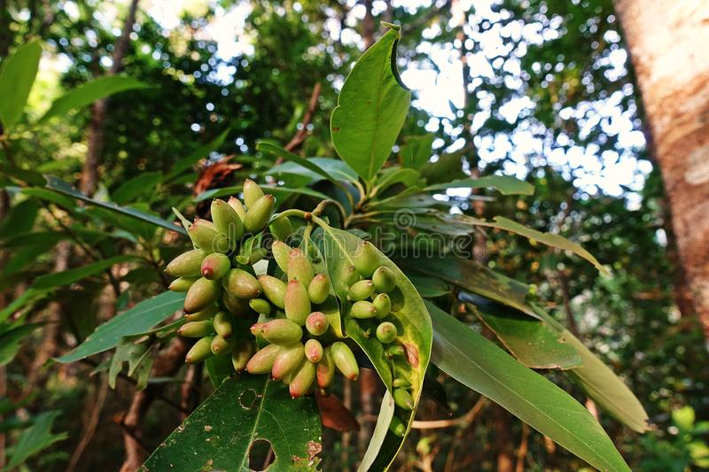 Gall mites infected on host plant, rain forest tree. Thailand royalty free stock photography