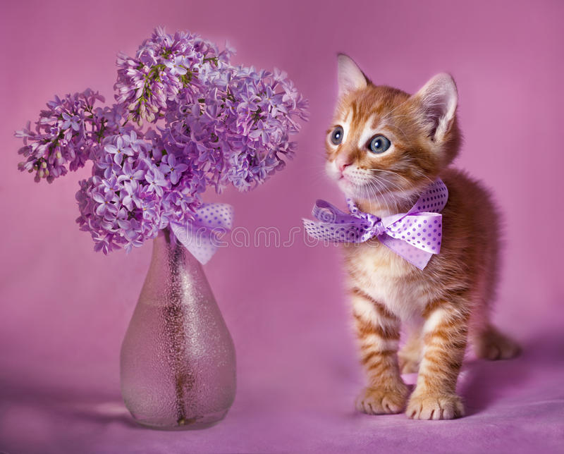 Gallant Red kitten. Portrait of red kitten with lilac bouquet on pink background