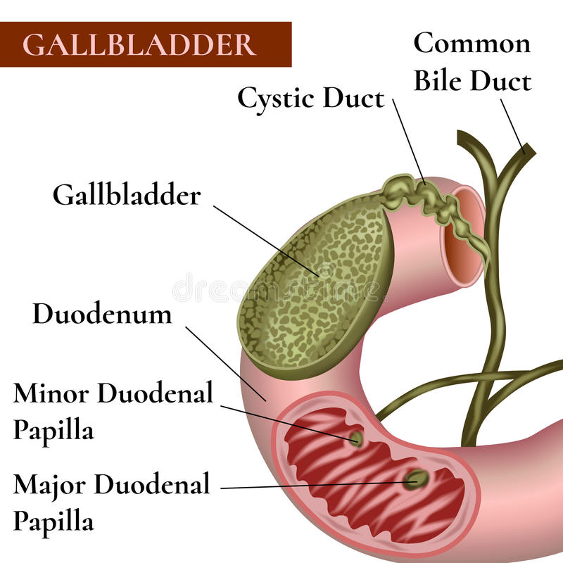 Gallbladder. Bile duct. Duodenum. The structure of the gallbladder vector illustration