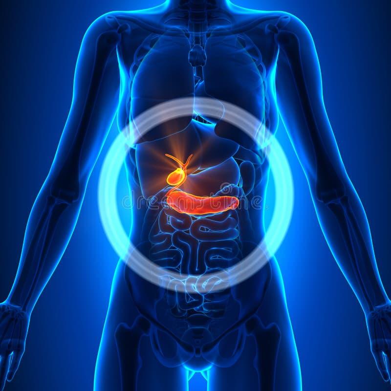 Gallbladder, trzustka/Ludzka anatomia - Żeńscy organy - ilustracja wektor