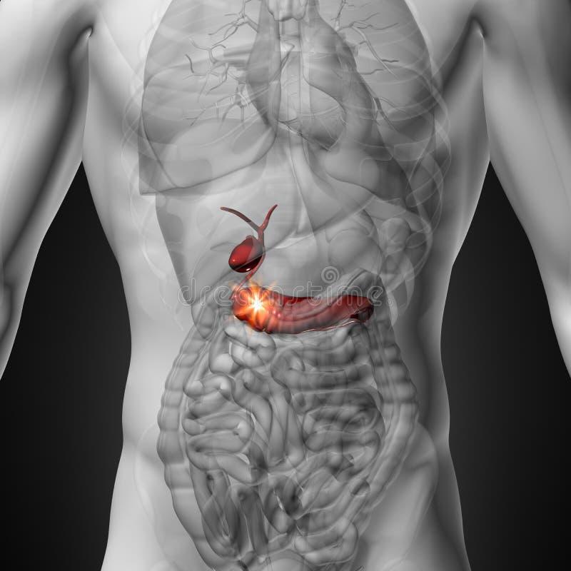 Gallbladderen/bukspottkörteln - manlig anatomi av mänskliga organ - x-ray sikt royaltyfri illustrationer