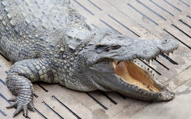 Galleggiamento del coccodrillo dell'Asia immagini stock libere da diritti