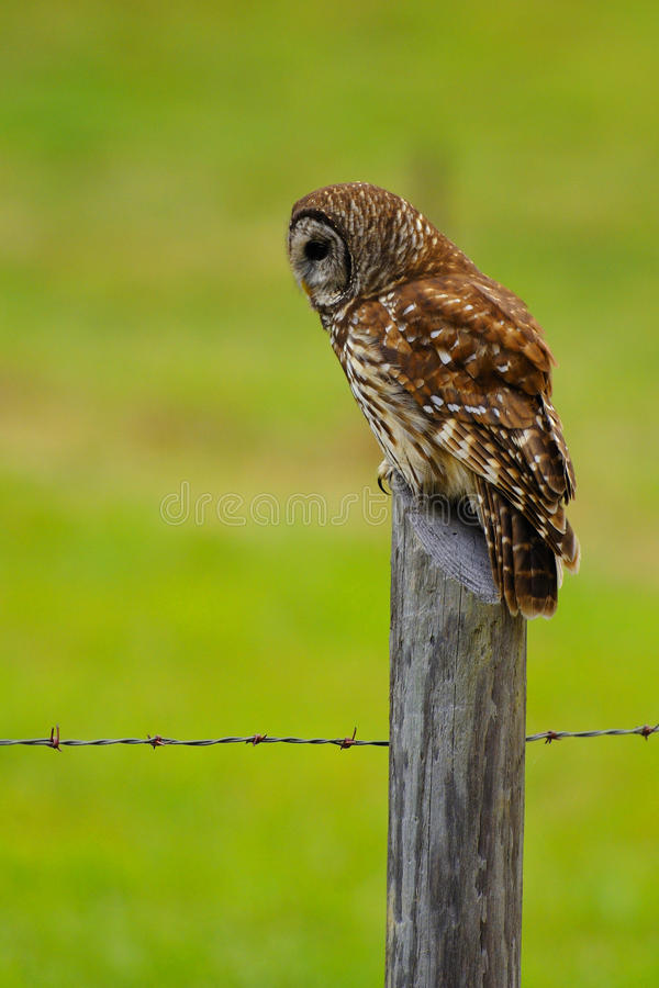 gallerförsedd owl 2 royaltyfri fotografi