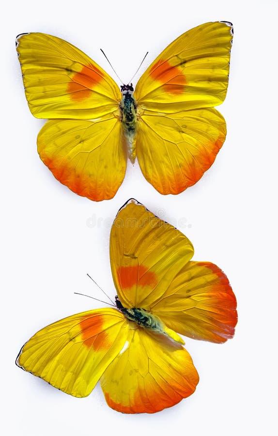 Gallerförsedd sulphur för apelsin arkivfoto