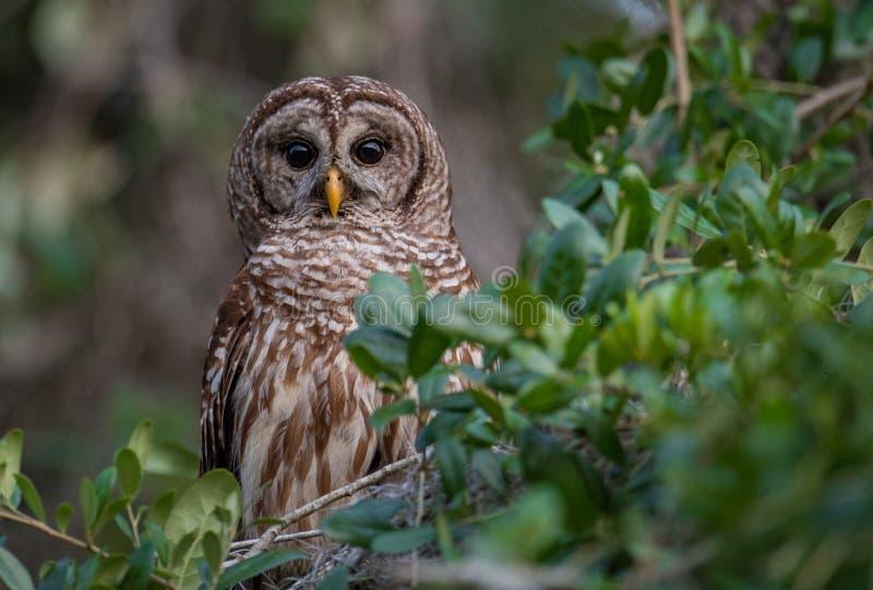Gallerförsedd uggla i Florida fotografering för bildbyråer