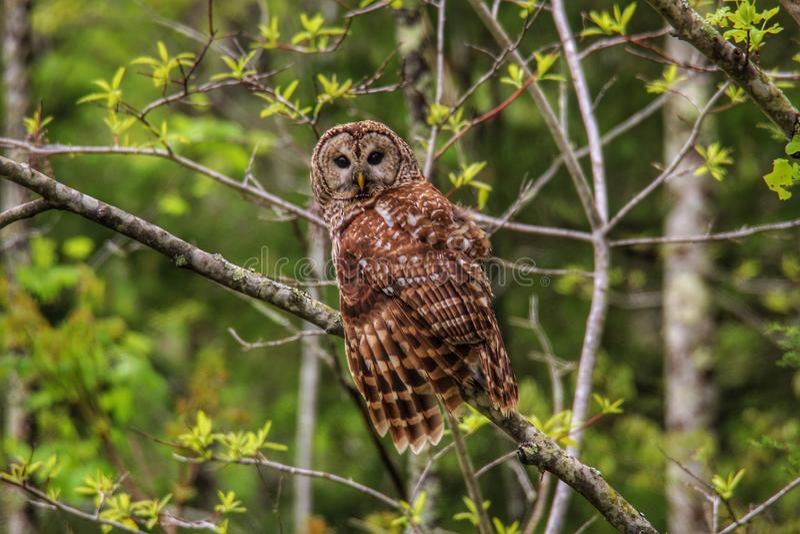 gallerf?rsedd owl royaltyfri bild