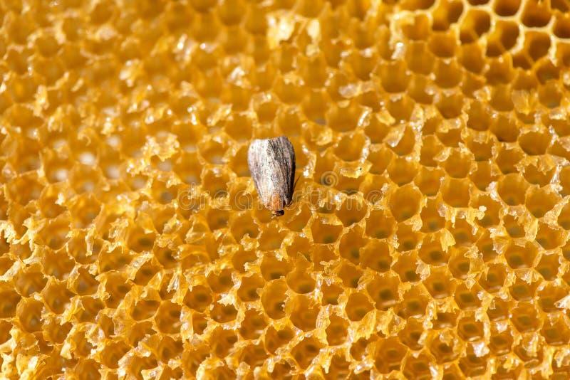 Galleria mellonella, lepidottero di cera - parassita dell'ape - fuoco selettivo, spazio della copia immagini stock