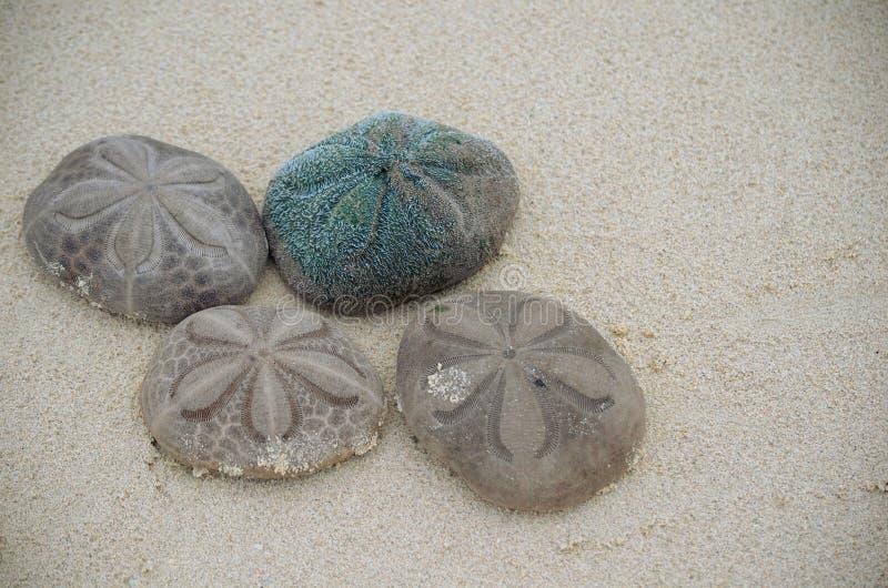 Galletas de mar de los dólares de Live Sand o galletas del mar - reticulatus de Clypeaster - en la playa en los Cocos Cuba de Cay fotografía de archivo libre de regalías