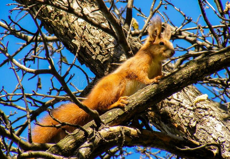Galletas del árbol de la mirada de la fauna del otoño del marrón del árbol de la ardilla que miran el cielo azul de la curiosidad imagenes de archivo