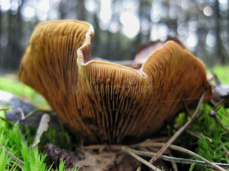 Galletto selvatico che cresce nella foresta fotografia stock