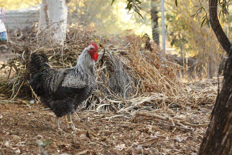 Galli e galline in un funzionamento di pollo fotografia stock